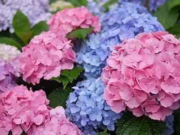 Тривалість цвітіння одного куща - 1,5-2
