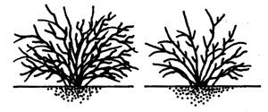 Обрізання ягідних кущів: смородини